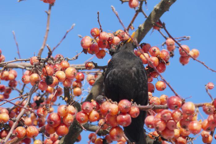 Amsel-Männchen im Winter auf einem Baum voller Früchte