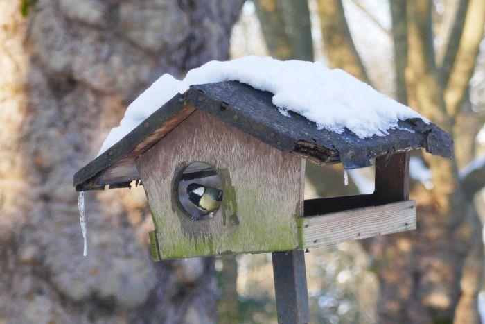 Kohlmeise schaut aus einem schneebedeckten Vogelhäuschen.